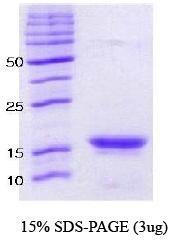 NBC1-18321 - Alpha-Synuclein / SNCA