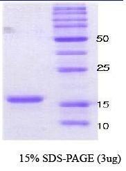 NBC1-18322 - Alpha-Synuclein / SNCA