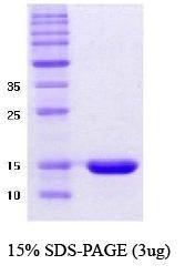 NBC1-18323 - Alpha-Synuclein / SNCA