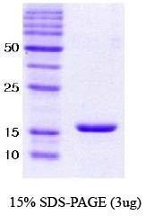 NBC1-18331 - Alpha-Synuclein / SNCA