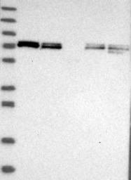 NBP1-80613 - XPNPEP1