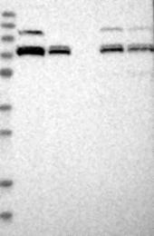 NBP1-80614 - XPNPEP1