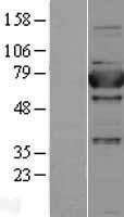 NBL1-17908 - aminopeptidase P Lysate