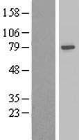 NBL1-07331 - beta Adducin Lysate