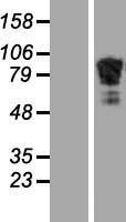 NBL1-07332 - beta Adducin Lysate