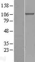 NBL1-09377 - beta COP Lysate