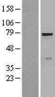 NBL1-11412 - beta Glucuronidase Lysate