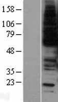 NBL1-13410 - c-Myb Lysate