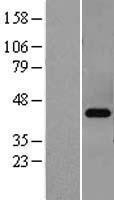 NBL1-14758 - cAMP Protein Kinase Catalytic subunit beta Lysate