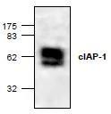 NBP1-45483 - IAP2 / BIRC2