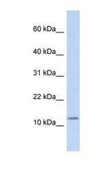 NBP1-59329 - Cholecystokinin / CCK
