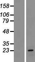 NBL1-09283 - clarin 1 Lysate