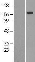NBL1-09336 - contactin-4 Lysate