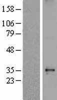NBL1-15904 - delta Sarcoglycan Lysate