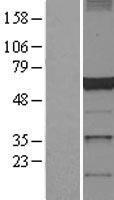 NBL1-09753 - Dynactin 4 Lysate