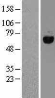 NBL1-10174 - eIF2 alpha Lysate