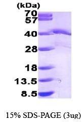 NBP1-44467 - EIF2A / EIF2S1