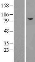 NBL1-10181 - eIF2B epsilon Lysate