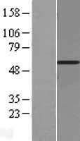 NBL1-10192 - eIF3e Lysate