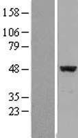 NBL1-10202 - EIF4A2 Lysate