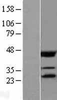 NBL1-10204 - eIF4E Lysate
