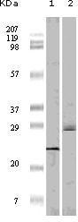 NBP1-47554 - EIF4EBP1 / 4E-BP1