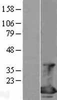 NBL1-10206 - eIF4EBP1 Lysate