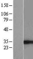 NBL1-10212 - eIF4H Lysate