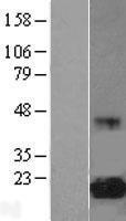 NBL1-10214 - eIF5A Lysate