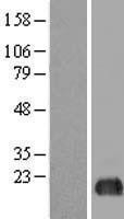 NBL1-10215 - eIF5A2 Lysate