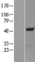 NBL1-10348 - eRF1 Lysate