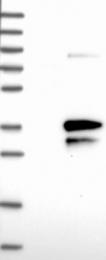 NBP1-89911 - Enkurin