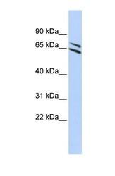 NBP1-59353 - FMO4