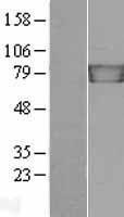 NBL1-12118 - gamma Catenin Lysate