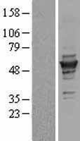 NBL1-17444 - gamma Tubulin Lysate