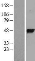 NBL1-11057 - gamma-glutamyl hydrolase Lysate
