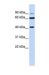 NBP1-57903 - H6PD / GDH