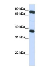 NBP1-69476 - Platelet glycoprotein VI