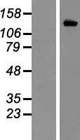 NBL1-12154 - KCNH2 Lysate