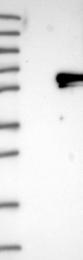 NBP1-89699 - RAD23B