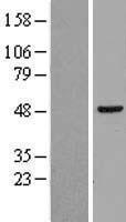 NBL1-15115 - hHR23b Lysate