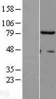 NBL1-16887 - THO complex subunit 1 Lysate