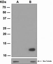 NBP1-96054 - Histone H4