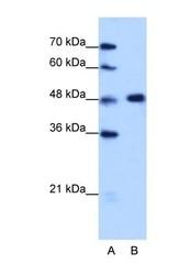 NBP1-57273 - hnRNP-F / HNRNPF