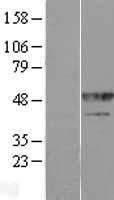 NBL1-11642 - hnRNP F Lysate