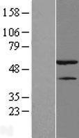 NBL1-11643 - hnRNP H Lysate