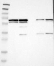 NBP1-84374 - hnRNP-K / HNRNPK