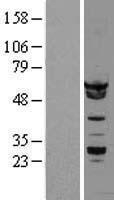 NBL1-11645 - hnRNP K Lysate