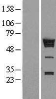 NBL1-11647 - hnRNP K Lysate