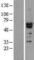 NBL1-11648 - hnRNP L Lysate